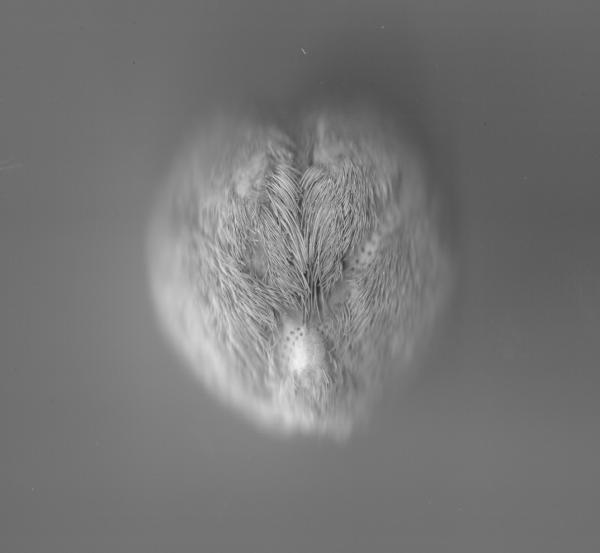 vanité (oursin souris)