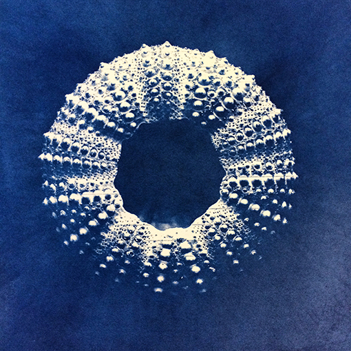 Oursin, cyanotype, 2018
